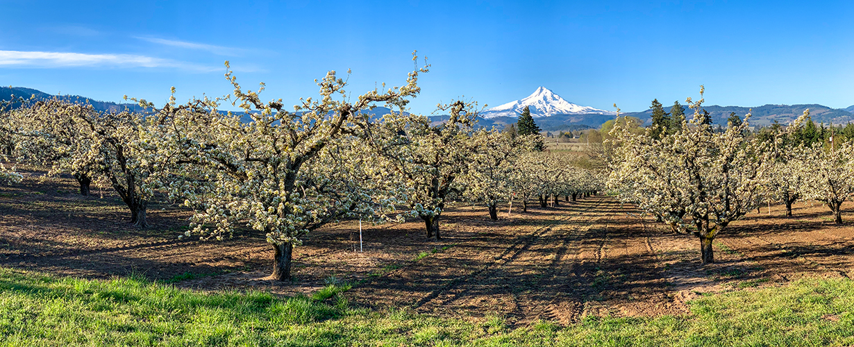 Blossom Time in Hood River
